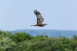 Marsh Harrier (Circus aeruginosus), Far Ings, North Lincolnshire, 2011