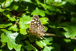 Speckled Wood Buterfly (Pararge aegeria)