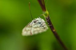 Marbled White (Melanargia galathea)