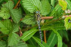 Hairy Dragonfly (Brachytron pratense)