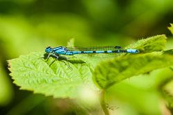 Common Blue Damselfy (Enallagma cyathigerum)