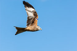 Red Kite (Milvus milvus) in Wales