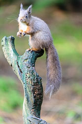 Red Squirrel (Sciurus vulgaris), Woodlands, Hawes, Yorkshire