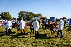 Cattle at Flintham Show, Bingham, Notinghamshire, September 2018. Photo: Neil Houltby