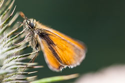 Small Skipper (Thymelicus sylverstris)