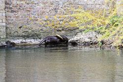 Otter (Lutra lutra), Norfolk
