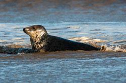 Grey Seal at Donna Nook, Lincolnshire